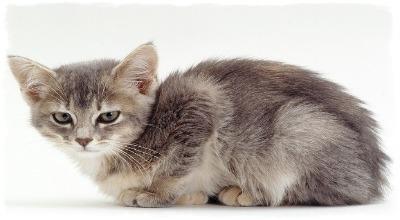 Могут ли болеть кошки чумкой