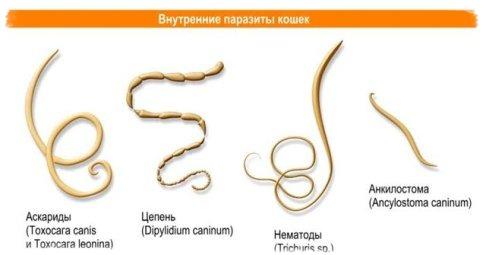 Какие глисты встречаются у кошек