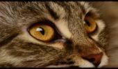 Что делать, если у кота опух глаз?