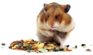 Что едят хомяки: чем кормить хомяка, чего нельзя давать
