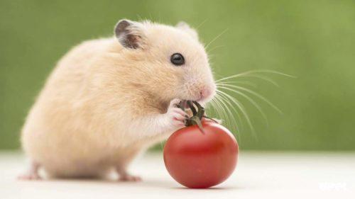 хомяк ест овощи