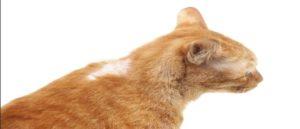 Выпадение шерсти у кошки: причины и лечение