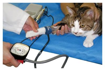 Артериальное давление у кошек