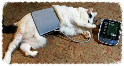 измерение давления у кошки дома