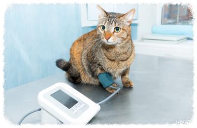 лечение давления у кошек