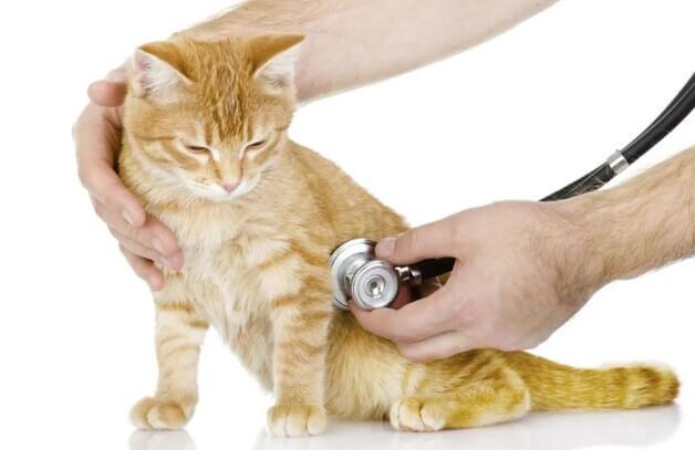 Симптомы и признаки астмы у кошек
