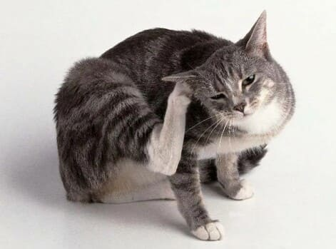 Аллергия на блох у кошки